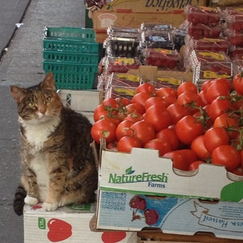 Kitteh iz not impressed with these tomatoes. Prefers heirloom variety.