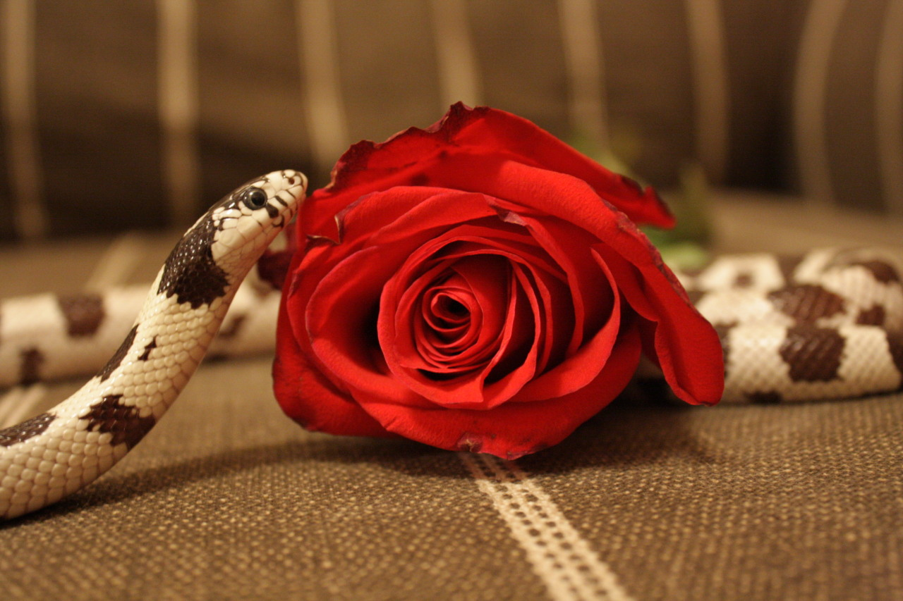 farsnakes:  crisscrosscutout:  Perhaps the lady would like a rose?  Oh how handsome!