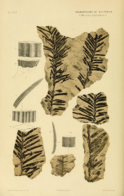 Prodromus of the paleontology of Victoria by BioDivLibrary on Flickr. Melbourne :G. Skinner, acting government printer;1874-.biodiversitylibrary.org/page/13774412