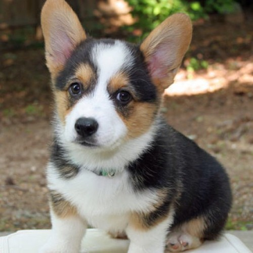 Give @johndgray and me all of your corgis.