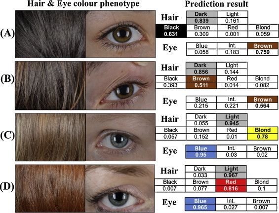 "we-are-star-stuff:   DNA prediction of categorical eye and hair colour on the individual level. Examples of applying the HIrisPlex system to four European individuals (A–D). The actual eye and hair colours are displayed on the left side by photographs. The HIrisPlex prediction results, in terms of the probabilities belonging to certain colour categories, are shown on the right side, where the colour categories with the highest probabilities are highlighted. Human hair, eye, and skin colour are very complex and difficult to predict, because each of these traits is controlled by more than one gene. It's not really a matter of a child taking after the father or mother's side; genes don't work that way. What matters is which parent has the dominant versions of the various genes that affect the traits in question, because these are the ones most likely to be expressed by the child - though not always. Every animal (including humans) carries two copies of every gene. Scientists now estimate that a human has about 30,000 genes in his/her genome, and every human has two copies of that genome: one from mom, and one from dad. The two versions of each gene (called alleles) may be the same in a single person, or they may be different. This means that the different versions can combine and interact in unpredictable ways to produce a wide range of phenotypes (physical appearance). A trait that is controlled by several genes is called a polygenic trait. A polygenic trait is the expression of a single phenotypic trait that is affected by the action of more than one gene. There are too many examples to list, since most traits are - at least to some degree - polygenic.  But human hair, eye and skin colour are among them. Hair colour is a result of interaction between several genes that not only control the colour of the hair pigmentation (one gene controls the expression of brown -eumelanin- pigment and a different gene controls expression of red -phaeomelanin- pigment), but also how much pigment is deposited in the hair shaft. The darker the hair, the greater the melanin deposition, but one can't really predict how dark a baby's hair will be, since s/he may inherit a wide variety of ""darkness level"" genes from both parents, and they can recombine in various ways to produce hair that ranges in colour from very light to very dark. If a person expresses both the eumelanin (brown) and phaeomelanin (red) genes, the hair will be reddish brown. Dark to light brown hair with no trace of red occurs when only eumelanin is expressed, but in varying concentrations. Blonde hair with no trace of red occurs when there is weak eumelanin expression and no phaeomelanin. Red hair occurs when there is strong expression of phaeomelanin and weak expression of eumelanin. Not all people express both genes, but in dark-haired people that do express both, you can sometimes see a reddish sheen in the hair in certain light. But the darker eumelanin pigment often makes it difficult to see the red pigment, if it's present. Light colored eyes (blue, green, hazel, grey, etc.) are usually considered recessive to dark-colored eyes. But this trait is controlled by at least five different genes. There are genes that control whether or not melanin is deposited in the iris (the dominant B allele codes for brown, and the recessive b allele, coding for no melanin, will result in pale irises. These will be blue in the absence of other pigments), the amount of pigment deposited (several genes that can combine to generate eyes that are very dark, almost black to relatively light brown), as well as overlying carotenoid pigments that can change a blue iris to green, aqua, grey, or any number of variations. And to make things even more complicated, eye colour, like hair colour, can change with age. Still, one can predict, to some degree, whether a child will have light-colored or brown eyes. The allele coding for light eyes (i.e. lack of melanin in the iris) is recessive to the allele coding for dark eyes (i.e. melanin deposited in the iris). For a person to have light eyes, s/he must inherit two copies of the b allele (genotype bb). A person needs only one copy of the B gene to have dark (brown) eyes, so can be either BB or Bb. Skin colour is probably the most complex of all the traits. The shade of the skin in humans may be controlled by several genes, each with several alleles, and this makes the prediction of skin tone in a baby a nearly impossible task. x"