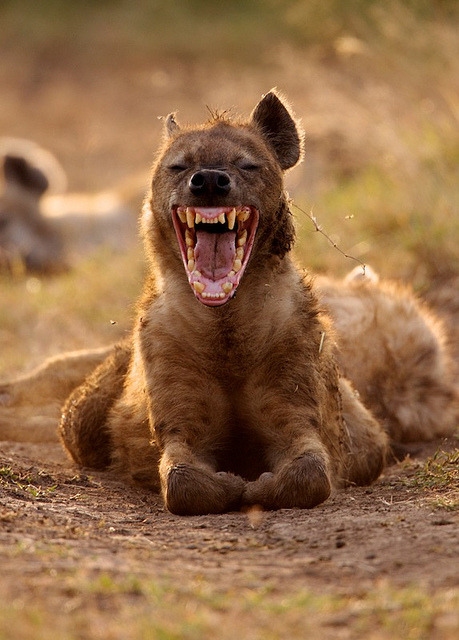 theanimaleffect:  hyena_yawning by bambigirl2013 on Flickr.