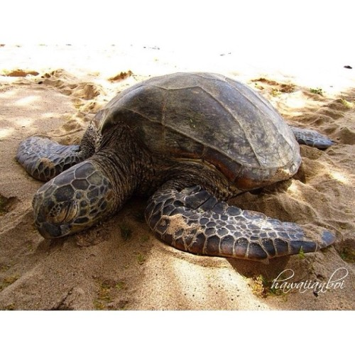 ishawaii:  Have a cherreh #HumpyHumpDay errrbody! 🐢\000/ #MokuNuiReminiscing #BlessedWeLiveHawaii — photo taken by hawaiian_boi