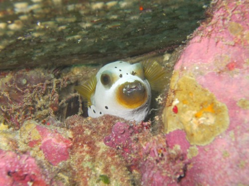 Peek-a-boo! A black spotted toadfish (Arothron nigropunctatus) is peeking betwen corals under the jetti. Mandati Jetti. Wakatobi. Photo by me (lyra)