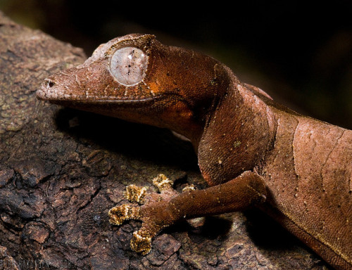 "reptiglo:  Satanic Leaf-tailed gecko by Thor Hakonsen on Flickr. ""Uroplatus is a genus of geckos commonly referred to as Flat or Leaf-tailed Geckos. All of the species of this genus are found in primary and secondary forests on the island of Madagascar. They are endemic to the island, and found nowhere else on earth. The Uroplatus are nocturnal and arboreal. They range in size from about 12 inches (U. giganteus) to 2.5 inches (U. ebanaui and U. phantasticus). They spend most of the daylight hours hanging vertically on tree trunks, head down, resting. During the night, they will venture from their daylight resting spots, and go off in search of prey. They are all insectivores. They all have coloration developed as camouflage, most being grayish brown to black or greenish brown with various markings meant to resemble tree bark. There are two variations of this camouflage: leaf form, and bark form. The leaf form is present on only two species, U. phantasticus and U. ebanaui, which are also the two smallest species. All other forms blend in well with tree bark upon which they rest during the day. Some of these treebark forms have developed a flap of skin, running the length of their bodies, known as a dermal flap, which they lay against the tree during the day, scattering shadows, and making their outline practically invisible."""