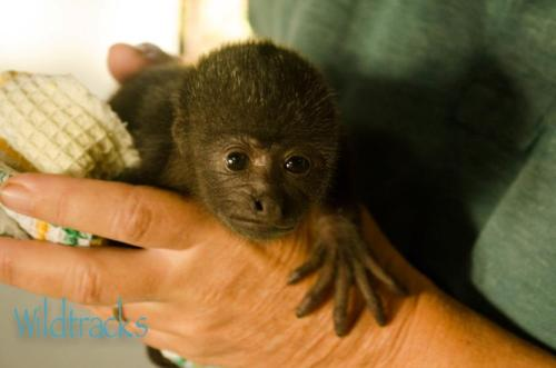 funnywildlife:  This is Little Bean. She is a baby howler monkey who currently lives in a Primate Rehabilitation Center in Belize. We are trying to raise money to build a nursery for her and the other baby monkeys. Please consider donating via this link  Please donate! Just a couple dollars! The baby monkeys at the Center don't have anywhere to sleep and there are 10 of them! Currently they have to live in a tiny office and there just isn't enough room for all of them in there. They really need this nursery!