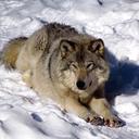 opalobsidian-wolf