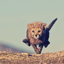 cheetah-chaser