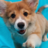 corgiappreciationblog