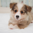 Ninja the Pembroke Welsh Corgi