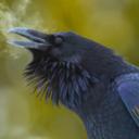 the-corax-speaks