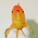 goldfishfancy