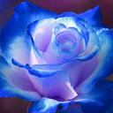 rose-drawblog