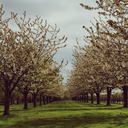 peargrove