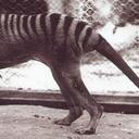thylacine-dreams
