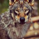 traumatizedwolf