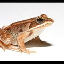 biggest-gaudiest-frog