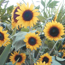 sunflower-roo
