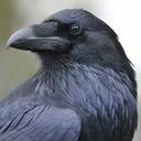 ravenconspiracy