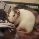 mila-the-rat
