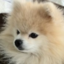tommypom: Tommy the Pomeranian