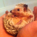 Milo is a Hedgehog