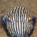fuckyeahcuttlefish