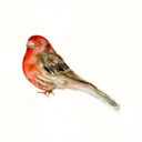 thehousefinch
