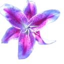 lavender-lily