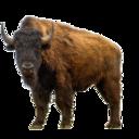 bisonabroad
