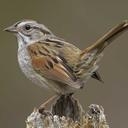 sparrowsarus