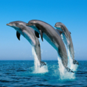 save-the-japan-dolphins2012