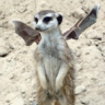 Adventures of the Marauding Meerbat
