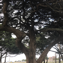 nerii-oleander