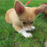 Captain Kirk: The Pembroke Welsh Corgi