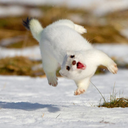 whatever floats your stoat