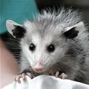 opossum-life