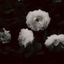 roselhouette