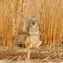queercoyote