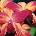 orchiddonna