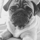milo-the-pug-blog