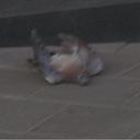 pigeondiedinfrontofstarbucks