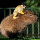 animalssittingoncapybaras