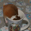 hamsters-in-cups