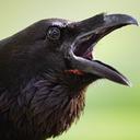 cosmic-crows