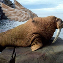 walruses-can-fly