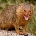 screaming-mongoose