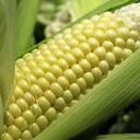 corn-bitch