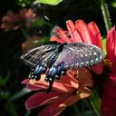 blackswallowtailbutterfly