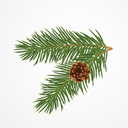 pinestudies